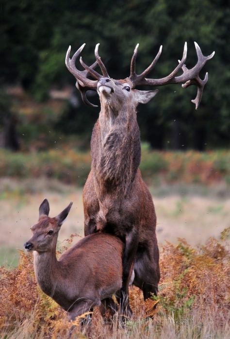 Deerdasherdruiddeerbanger